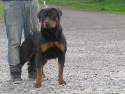 Iana Von Der Mulhe Rott, chien Rottweiler
