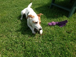 Iana, chien Jack Russell Terrier