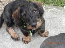 Ianis, chien Teckel