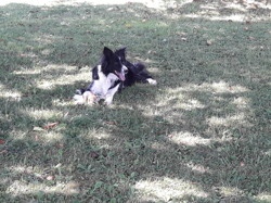 Ianka, chien Border Collie