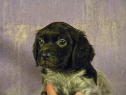 Ianky, chien Épagneul breton
