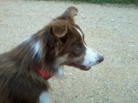 Ianna, chien Border Collie