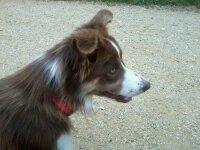 Ianna, chien Border Collie