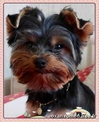 Iannis, chien Yorkshire Terrier