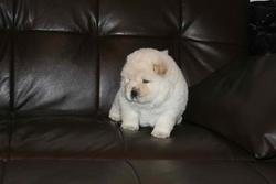 Iasha , chien