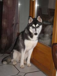 Iaska, chien Husky sibérien
