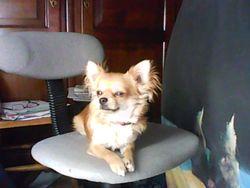 Iasko, chien Chihuahua
