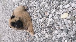 Iasko, chien Chow-Chow