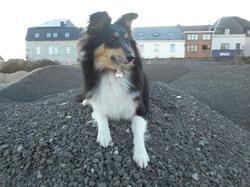 Ibana, chien Berger des Shetland