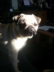 Ibay, chien Carlin