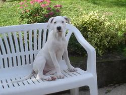 Ibaya, chien Dogue argentin