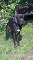 Iberia , chien Dogue allemand
