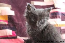 Ibis De La Forêt Verte, chat Angora turc