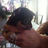 Ibiza, chien Chihuahua