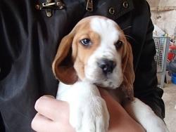 Ibou, chien Beagle
