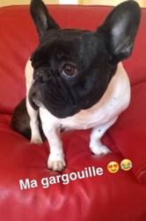 Ibra, chien Bouledogue français