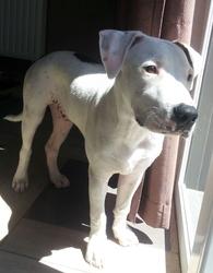 Ibrah, chien Dogue argentin