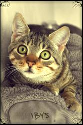 Ibys, chat Gouttière