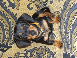 Icaly, chien Teckel