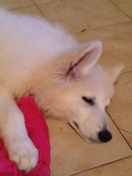 Icar, chien Berger blanc suisse