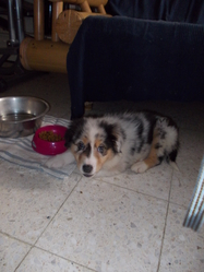 Icar, chien Berger australien