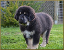 Icar, chien Dogue du Tibet