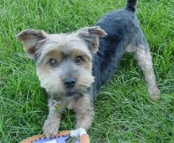 Icar , chien Yorkshire Terrier
