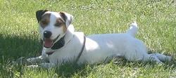 Icar, chien Jack Russell Terrier