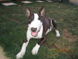 Icare , chien Bull Terrier