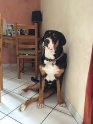 Icare, chien Grand bouvier suisse