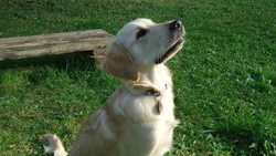 Icare, chien Golden Retriever