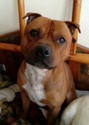 Icare, chien Staffordshire Bull Terrier