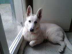 Ice, chien Berger blanc suisse