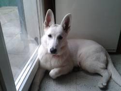 Ice, chien Berger blanc suisse