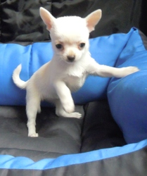 Ice, chien Chihuahua