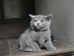 Ice, chat Chartreux