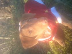 Ice, chien Teckel