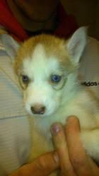 Ice, chien Husky sibérien