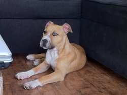 Ice, chien American Staffordshire Terrier