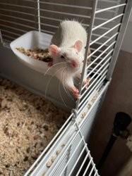 Ice, chien Pinscher