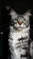 Ice, chat Maine Coon