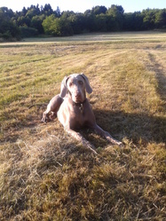 Ice, chien Braque de Weimar