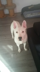 Ice, chien Bull Terrier