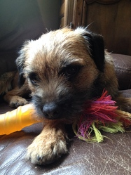 Ice Tea , chien Border Terrier