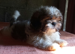 Ice Tea, chien Shih Tzu
