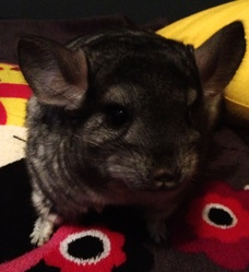 Icea, rongeur Chinchilla