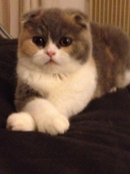 Icecream, chat Scottish Fold