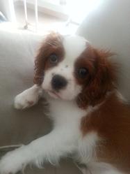 Icéo, chien Cavalier King Charles Spaniel