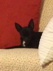 Icetea, chien Chihuahua