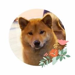 Ichi, chien Shiba Inu